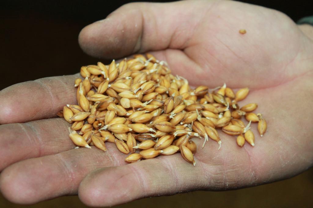 Spirende korn som blir til malt